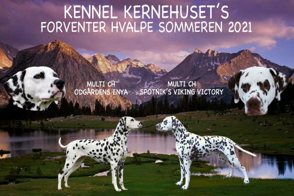 ANNONCE FOR DALMATINER HVALPE EFTER BERTHA SOMMEREN 2021!!!