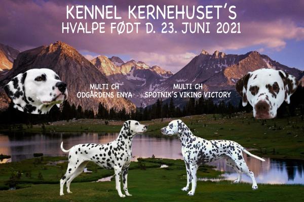 Seriøst dalmatiner opdræt på Sydfyn. Annonce for Kennel Kernehuset's D-kuld som er født 23. juni 2021.